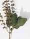 Holy Basil (Sacred Basil).jpg - 6736 Bytes